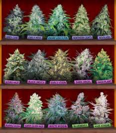 philippine cannabis indica seeds for sale picture 1