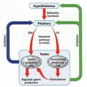 testosterone and production of sperm picture 7