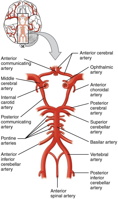 cerebral blood flow picture 1