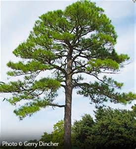 free pines enlarger in days picture 1