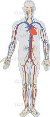 blood circulation in humanbody picture 1