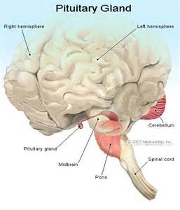 anterior pituitary gland picture 7