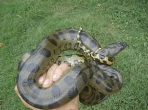 anaconda diet picture 10