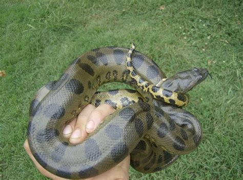 anaconda diet picture 14
