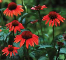 echinacea big sky series picture 1