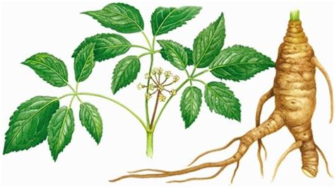 can you take black cohosh and garcinia cambogia together picture 10