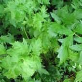 hoodia loose tea leaves picture 1