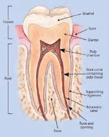 anatomy of the teeth picture 7