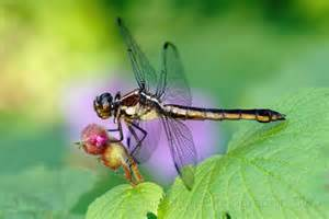 biddy dragonfly diet picture 15