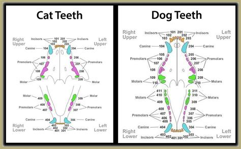 feline teeth cleaning picture 6