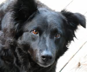 symptoms liver disease canine picture 18