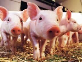 pig illness 2014 picture 3