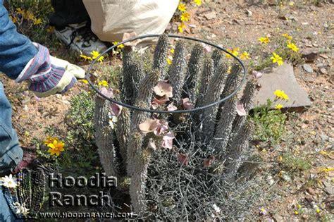 hoodia harvest picture 6