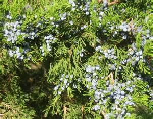 herbal remedies juniper picture 5
