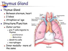 thymus gland picture 9
