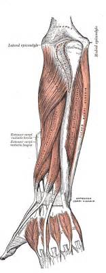 forearm muscle picture 10