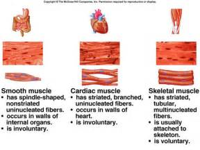 human muscle tissue picture 19
