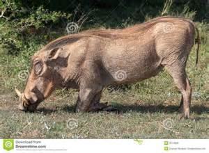 wart hog picture 2