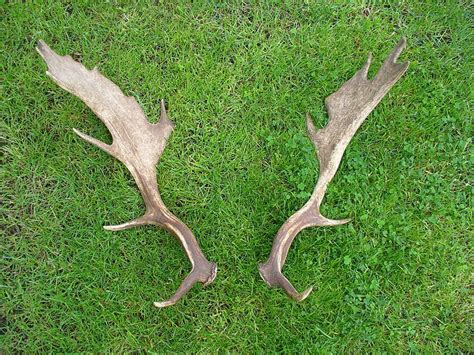 stoors to buy deer antler velvet picture 10