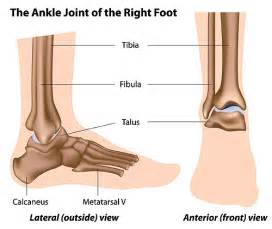 ankle joint picture 1