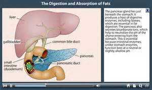 digestion and absorption picture 2