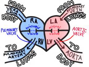 cardiac blood flow picture 7