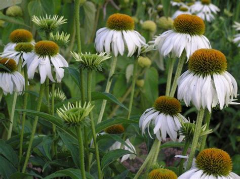 echinacea + green edge picture 15