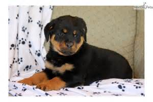 aging rottweiler care picture 18