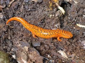 amphibian skin spots picture 11