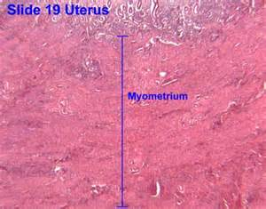 uterine smooth muscle supplement picture 1