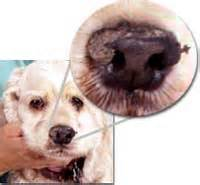 dry skin on dogs nose picture 6