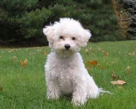 bichons and skin problems picture 3