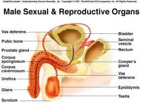 male sex organ enhancement picture 3