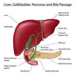 anatomical location of the liver picture 5