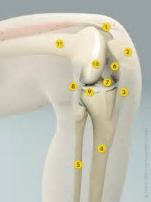 anotomy of knee joint picture 10