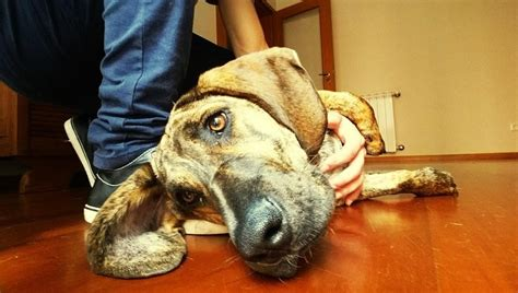 canine cirrhosis of the liver picture 11