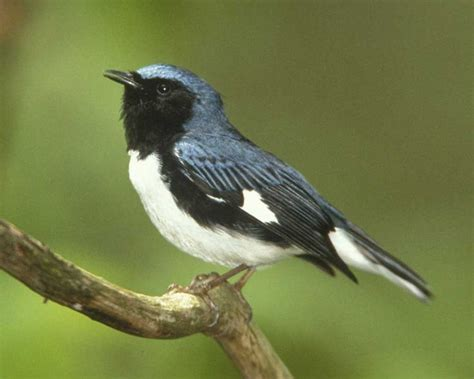 black throated blue warbler diet picture 10