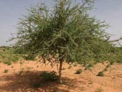 senegal herbal medicine picture 1