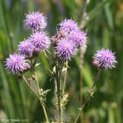 canadian thistle picture 18