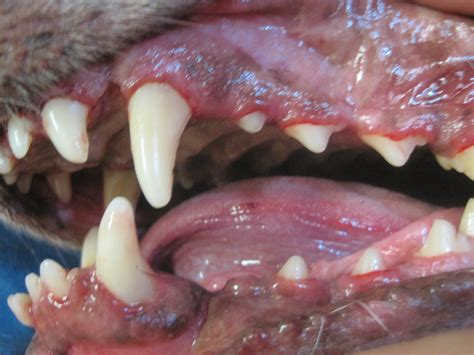 healthy dog teeth picture 6