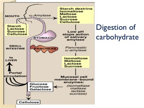 carbohydrate digestion picture 5