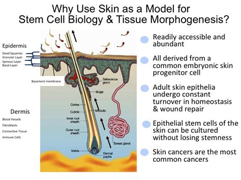 cell regeneration and skin picture 3