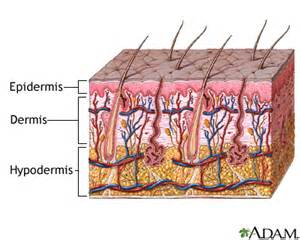 integumentary system skin model picture 7