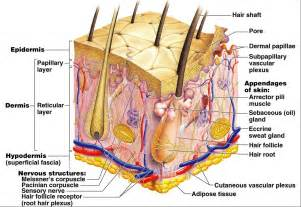 dermal layer of skin picture 7