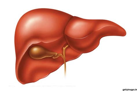 facts about the human liver picture 21