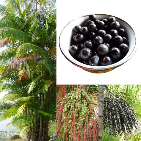 acai berry benefits picture 2