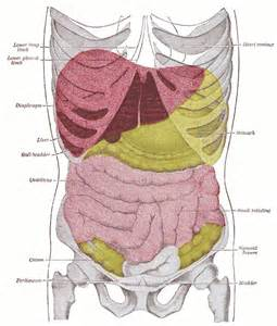 where is the liver located in the human picture 11