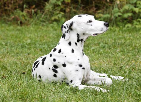dog involuntary leg shaking picture 10