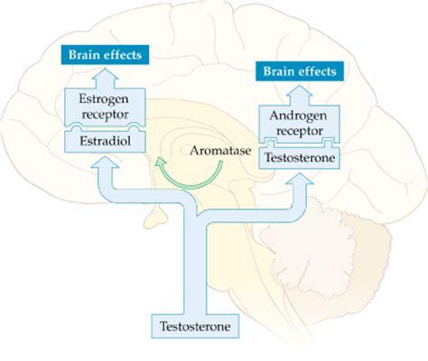 testosterone estrogen receptor picture 6