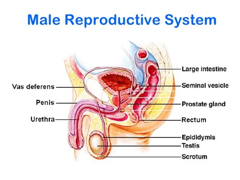 show and identify the various components of the male penis picture 13
